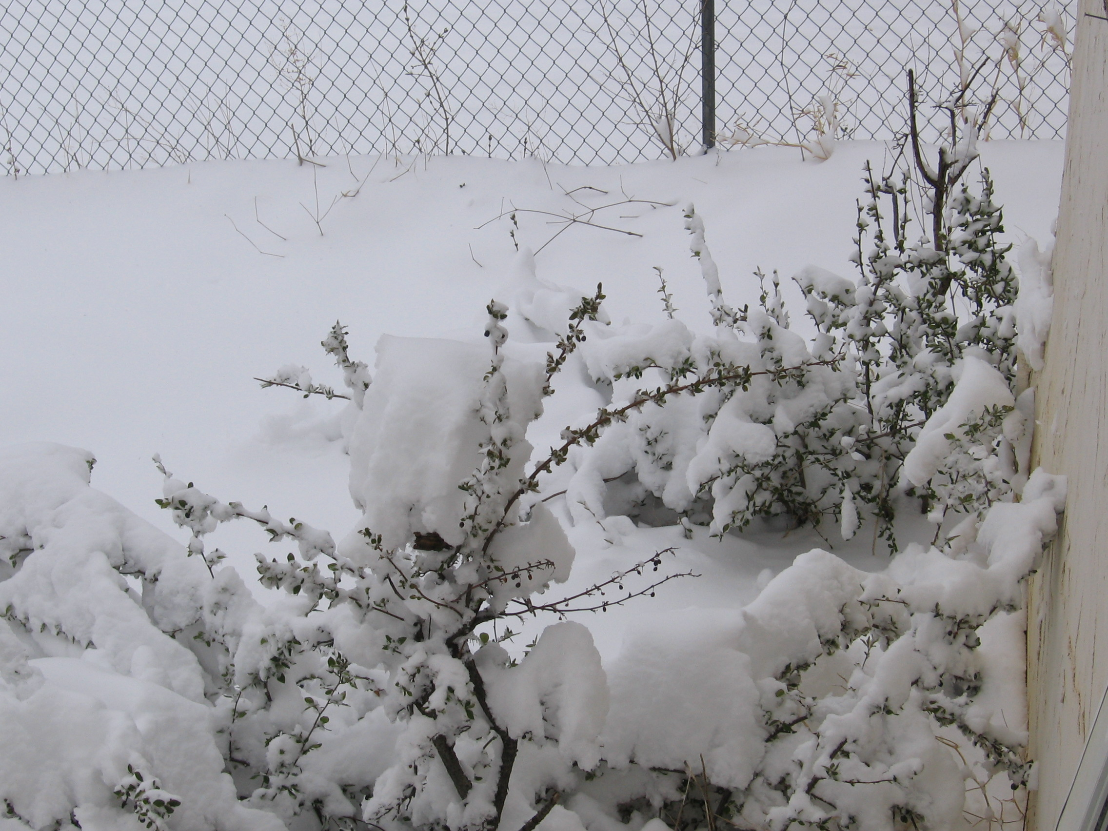 Budding shrubs covered in snow
