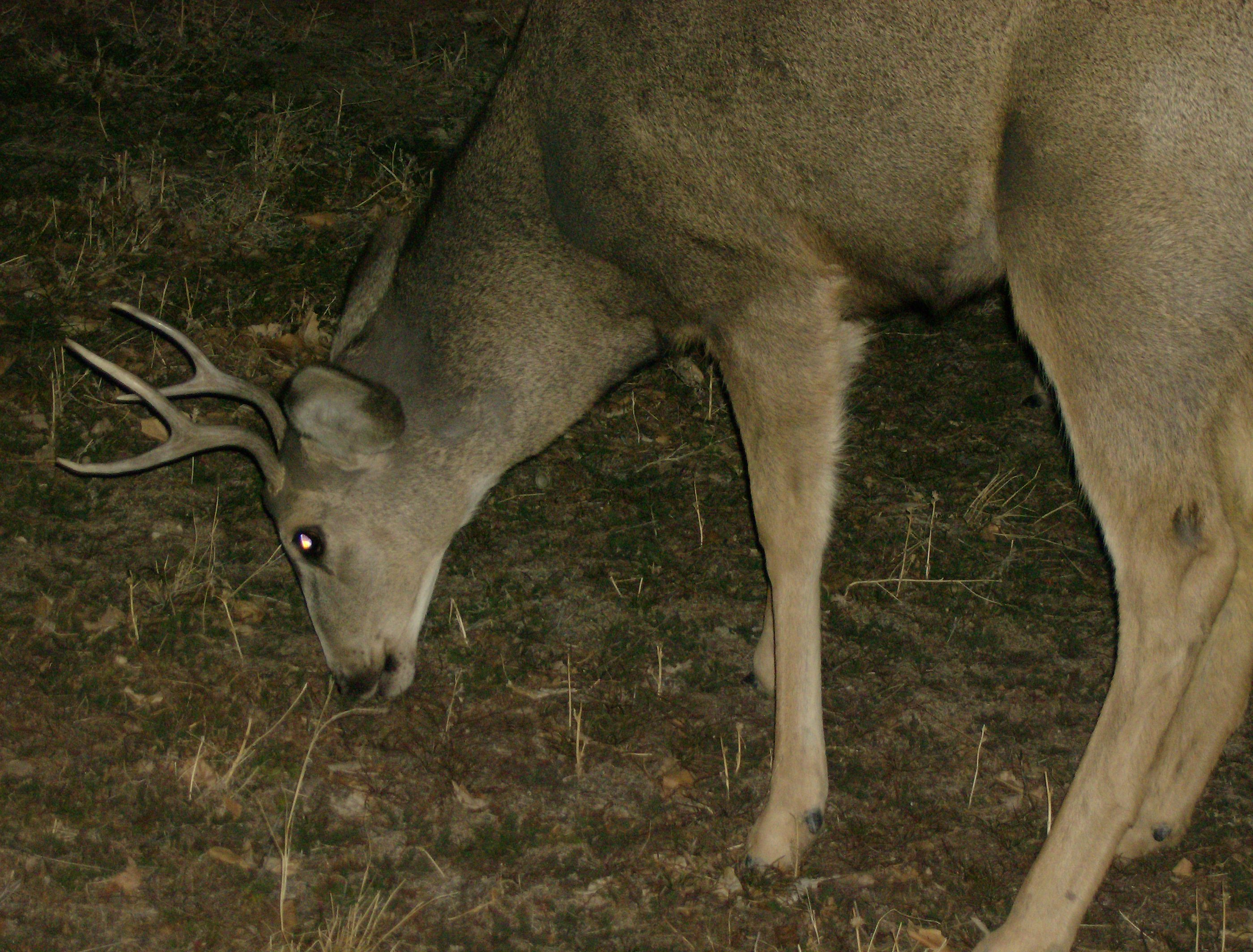 Buck next to the house
